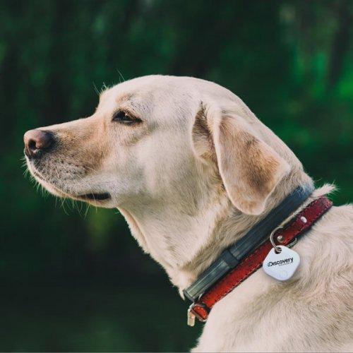 beagle_dog-1